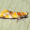 Orange-headed Epicallima