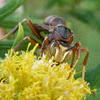 Vespid wasp