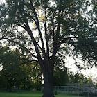 California Black Oak