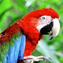 red-green macau