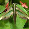 Sphinx Hawk Moth