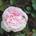 Clotidle Soupert Rose
