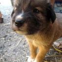 Puppy Aspin