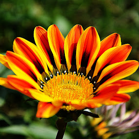 Flower by Saptarshi Datta - Flowers Single Flower ( yellow, garden, flower,  )