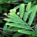 Avla Leaf