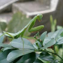 Mantises of Java