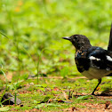 The Oriental Magpie-Robin
