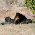 Lion (mating pair)
