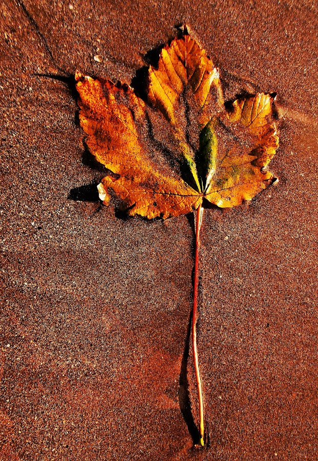 Leaf on sand by Ciprian Apetrei - Nature Up Close Leaves & Grasses ( fall leaves on ground, sand, fall leaves, nature up close, leaf, beach, brittany )