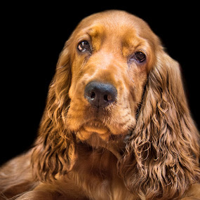 Lovely long hair! by Shivaang Sharma - Animals - Dogs Portraits ( dog, portrait, animal )