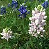 Albino Texas Bluebonnet