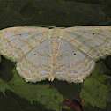 Moth - Large lace-border