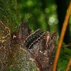 Millipeade/ Pill Bug