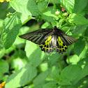 Common Birdwing