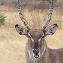 African antelopes in the wild