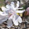 'Royal Star' Star Magnolia