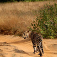 Sri lanka's mammals