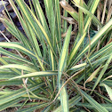 needle palm (golden sword variety)