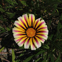 Aztec yellow ground cover flower