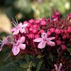 Rose Glorybower