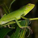 Maned Forest Lizard