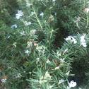 Rosemary (blooming)