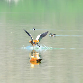 Ruddy Shelduck in Action !! by Prathap Gangireddy - Animals Birds ( bird shots, bird, bird of prey, birdhouse, bird pictures, ducks, duck, bird of paradise, birds, bird pond, bird photography, bird in flight )
