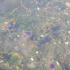 common jellyfish