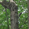 Hairy Woodpecker?