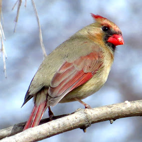 Northern Cardinal (Female) by Patti Hobbs - Animals Birds ( animals birds northern cardinal female )