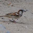 House Sparrow / Chittu kuruvi (சிட்டுக்குருவி)