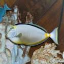 Naso Tang or Surgeonfish