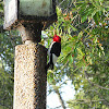 Red- headed Woodpecker