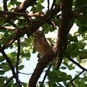 Aruba Burrowing Owl