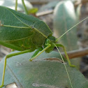 Greater Angle -Winged Katydid