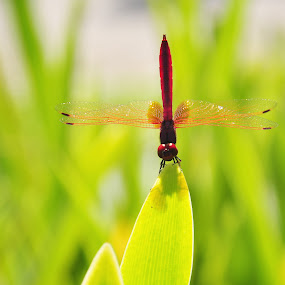 The Red Dragon by Tope T - Novices Only Macro (  )