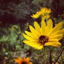 Purpledisk Sunflower; Appalachian Sunflower