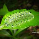 Yellow Archduke Caterpillar