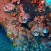 Grand coral worm snail