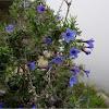 Lithodora fruticosa (Carrasquilla arbustiva)