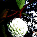 Sugar Apple / Atis