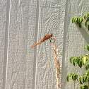 Yellow-winged Dragonfly