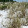 European Beachgrass (Estorno)