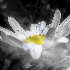 Daisy in the rain by Kathryn Johnson - Nature Up Close Natural Waterdrops ( nature, colour splash, mono, digital, rain, mobile )