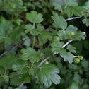 Missouri Gooseberry
