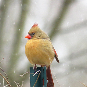 Shivering to Stay Warm by Ruby Stephens - Animals Birds ( bird in the snow, reds, winter, cardinal, browns, female cardinal )