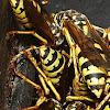yellowjacket or hornet