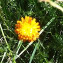 Orangerotes Habichtskraut or Orange Hawkweed