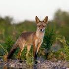 Raposa-vermelha