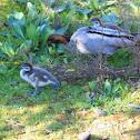 Australia Wood Duck